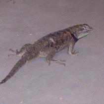 Reptiles of Arizona