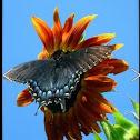 Eastern Tiger Swallowtail dark form female