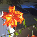 American Tiger Lilly