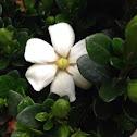 Heaven Scent Gardenia