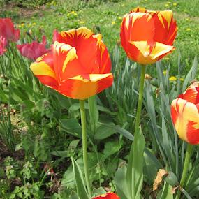 Spring Tulips by Patrick Jones - Flowers Flower Gardens ( tulips, garden, spring, flower )