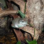 White's Dumpy Tree Frog
