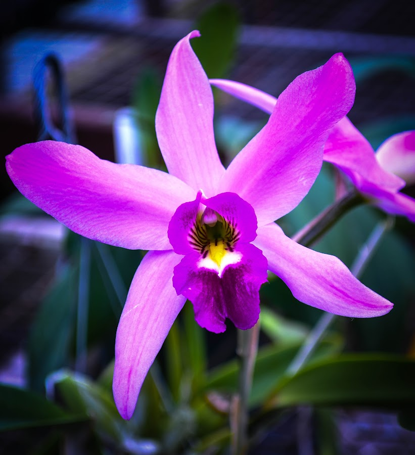 Purple Orchid by Gail Marsella - Flowers Single Flower ( orchid, purple, white, pink, black )