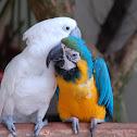 Kakadu + Parrot