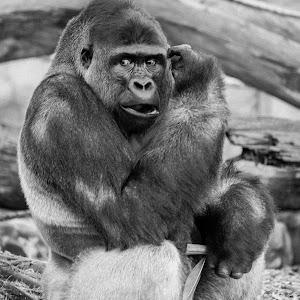 _MG_9098-watchful Gorilla.jpg