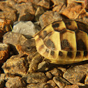 Spur-thighed tortoise or Greek tortoise