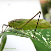 Long-Legged Katydid