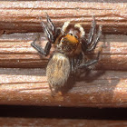 Furry jumping spider