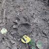 Mountain lion paw print
