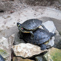 Yellow Bellied Slider/a Red Eared Slider