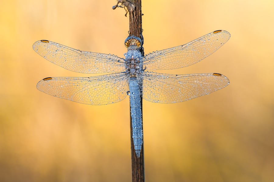 by Marco Carotenuto - Animals Insects & Spiders ( macro, nature, insects, dragonfly )
