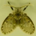 Owl midge/Moth fly of Psychodidae