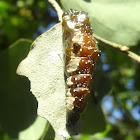 Pupa - wood  white butterfly