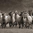 Dülmen wild ponies