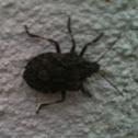 Rough Stinkbug