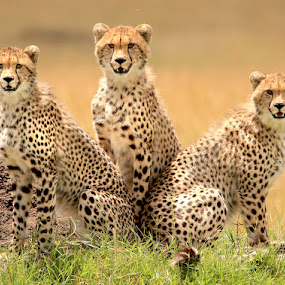 Trouble in Triplicate! by Dave Roberts - Animals Lions, Tigers & Big Cats ( masai mara, cheetah cubs, siblings )
