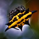 Spiny orb-weaver spider