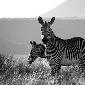 by Linda Jansen van Rensburg. - Black & White Animals