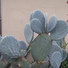 Durango Prickly Pear