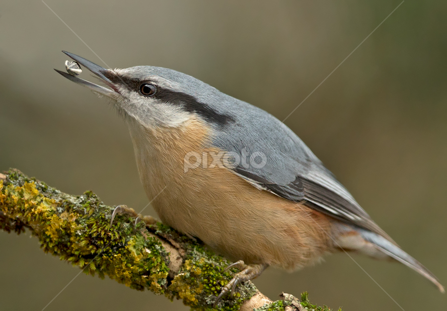 Sitta europea by Dragomir Taborin - Animals Birds