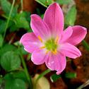 8-petaled Pink Rain Lily