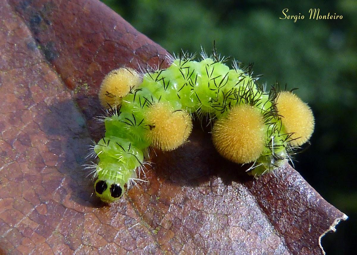 Wasp moth caterpillar