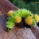 Wasp moth caterpillar