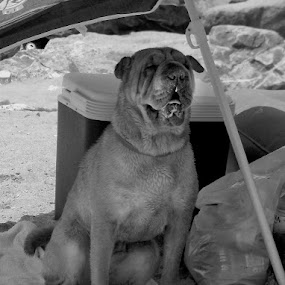 Waiting by Vlad Zugravel - Animals - Dogs Portraits ( black and white, waiting, umbrella, dog )