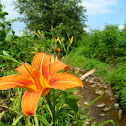 Day Lily (Ditch Lily)