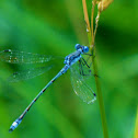 Lyre tipped Spreadwing