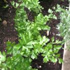 garden parsley