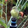 Lesser Gold Finch(Female)