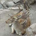 Ciervo Sica: Macho