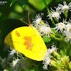 Lemon Emigrant