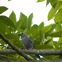 azulejo - blue-gray tanager