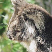 Koala Diaries