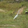 Intermediate Egret,