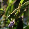 Grote Sabelsprinkhaan (Tettigonia viridissima)