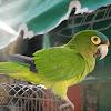 Orange-fronted Parakeet or Conure
