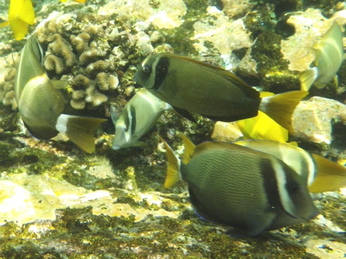 Whitebar Surgeonfish (maikoiko)