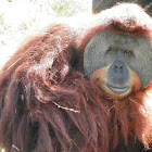 Sumatran Orangutan (Male)