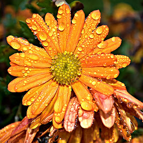 Rosom orošen by Jelena Puškarić - Flowers Flower Gardens ( macro, colors, drops, nature up close, flowers,  )