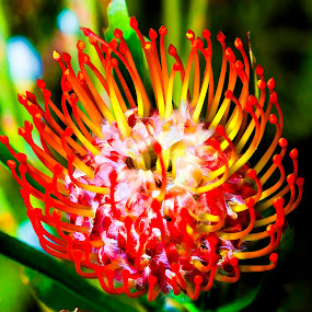 Protea Cushion Blossom by Judy Wright Lott - Digital Art Things ( african plants, macro, bellingham, nature, tropical flower, colorful, vivid, flowers, painting )