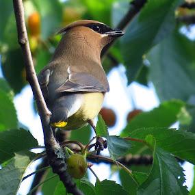 Cedar Waxwing by Patti Hobbs - Animals Birds ( animals birds cedar waxwing cherry tree )