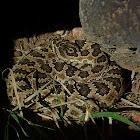 young Great Basin Rattlesnake
