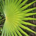 Washingtonia palm leaf