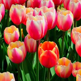 Beautiful tulips by Reshmid Ramesh - Flowers Flower Gardens ( tulip garden, multi, tulips, flowers, garden )