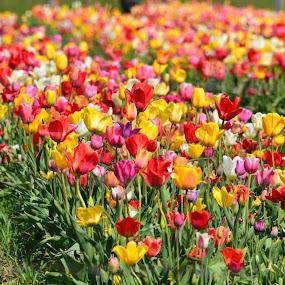Beautiful Tulip garden by Reshmid Ramesh - Flowers Flower Gardens ( tulips garden, tulips, flower,  )