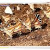 Mudpuddling of Spot Swordtail Butterfly