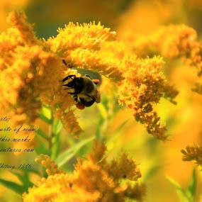 Honey Bee by Rhonda Silverton - Typography Quotes & Sentences ( bee, bumblebee, yellow, flowers, garden, honey bee )